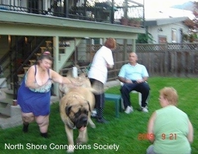 One Mastiff being chased by a lady in Blue. Two Mastiffs are walking towards the people in a lawn chair and a lady in green is sitting in grass