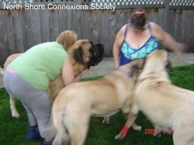 2 people and three Mastiff dogs, A Lady in green is hugging one of the Mastiffs. And the Other Two Mastiffs are in front of a lady in blue