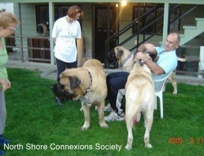 3 people and 3 Mastiff dogs, a Mastiff is in the face of a person in a lawn chair. Another Mastiff is standing in front of the man in a lawn chair. The other Mastiff is behind the man in a lawn chair.