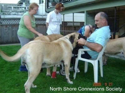 4 people and 3 Mastiff dogs, A Lady in Blue is petting an Mastiff in the background. One Mastiff is in the face of a man sitting in a car. And Another Mastiff is standing in front of a lady in green.