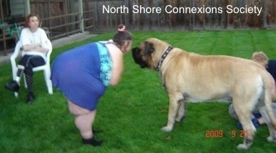 A Lady bending over to get face to face with One of the Mastiffs. There is a person in a lawn chair in the background