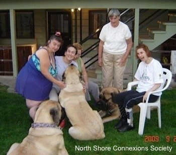 5 people and 3 Mastiff dogs, A Mastiff is laying in between Two people. A Mastiff is sitting in front of Three people. A third Mastiff is watching everyone