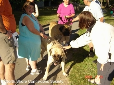 Seven people standing on a sidewalk and Two Mastiffs are getting pet