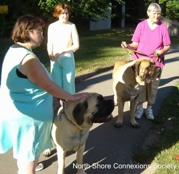 6 people and two mastiffs - Two people each walking a Mastiff and a third person is looking to the right