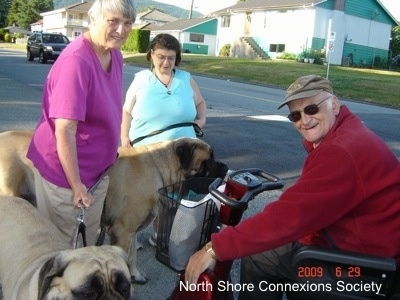 Three people on a sidewalk, two are standing and one is in a wheelchair. They are with two Mastiffs  and there is a car driving in the background