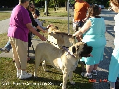 One person is sitting on a bench and petting a Mastiff. Three people are standing near the curb