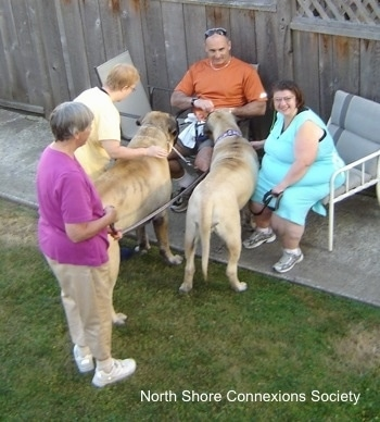 5 people with two Mastiffs - Two people are sitting in lawn chairs with Two Mastiffs in front of them. One of the Mastiffs is being pet by a lady standing in the grass