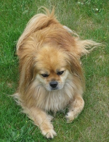 Top down view of a tan with white Tibetan Spaniel dog laying in grass and it is looking forward. The dog has a long coat with longer hair on its ears and tail.