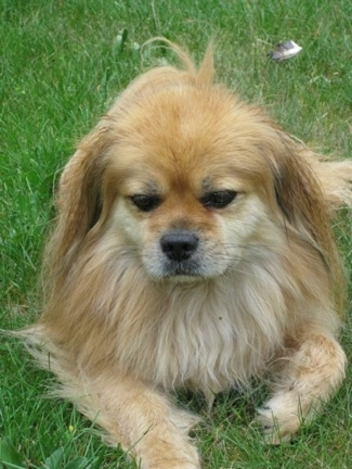 A tan with white Tibetan Spaniel is laying in grass and it is looking forward. It has long hair on its ears and chest.