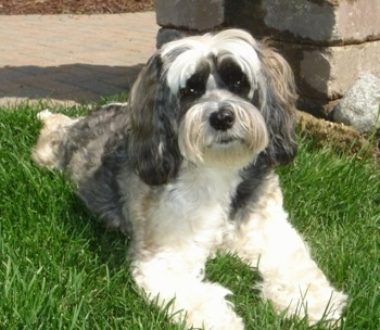The front left side of a white, black and tan Tibetan Terrier is laying across grass and it is looking forward. It has a big black nose and wide round eyes.