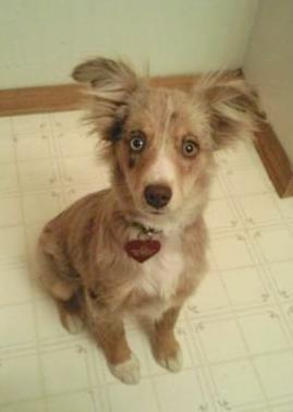 This is my Toy Australian Shepherd, Jaxi. She is 4 1/2 months old in this picture, weighing 11 pounds.