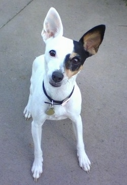Top down view of a white with black and brown Toy Fox Terrier that is standing on a concrete surface. It is looking up and its head is slightly tilted to the right. Half of the dogs face is white and the other half is black with brown. The color changes right down the middle of the dog's stop.