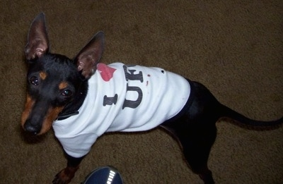 A black and tan Toy Manchester Terrier is standing on a carpet and looking up wearing a white t-shirt.