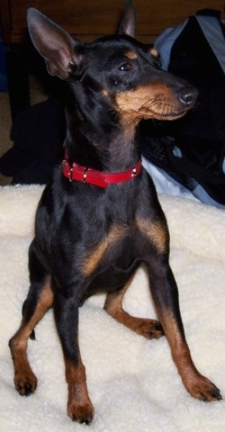 A black and tan Toy Manchester Terrier is wearing a red collar sitting on a tan dog bed looking to the right.