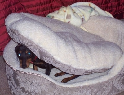 A black and tan Toy Manchester Terrier is sitting in a dog bed with the bed cushion on top of its head looking forward.