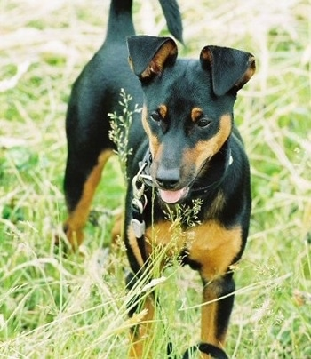 Close up - A black and tan Toy Manchester Terrier dog is standing outside in tall grass that is as tall as the dog. Its mouth is open and tongue is out.