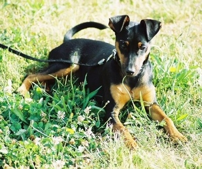 A black and tan Toy Manchester Terrier dog is laying outside in grass and looking forward. Its ears are flopped over to the front.