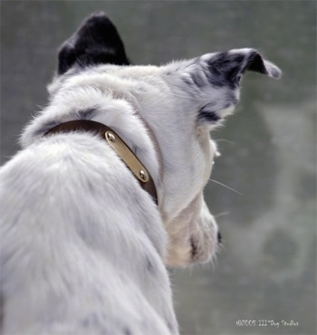 Close up - The backside of a white with black Mountain Feist is sitting in front of a window and there is a reflection of the dog showing the front of its face.