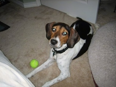 The right side of a white with black and brown Treeing Walker Coonhound that is laying on a carpet with a ball next to her
