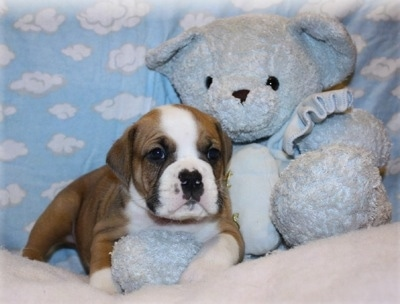 A wrinkly, pudgy brown with white and black Valley Bulldog puppy is laying on top of a bed, it is looking forward and there is a blue plush doll next to it.