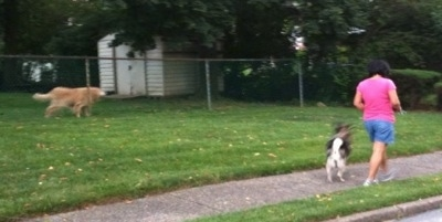 Dog barking from behind a fence as Tia the Norwegian Elkhound and a lady walk down the street