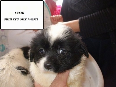 Close up - A White and black Weshi puppy is being held by a persons hand and in the top right are the words - 'Sushi Shih Tzu Mix Westi'. It has small ears and wide eyes.