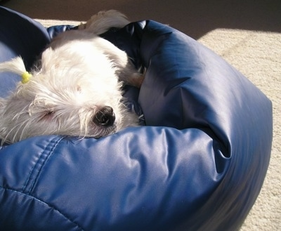 A West Highland White Terrier dog is sleeping in a blue beanbag. Its white face and black nose is sticking out the side.