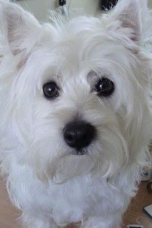 Close up head shot - A West Highland White Terrier is sitting on a carpet and it is looking forward. It looks soft with pure white hair, large black round eyes and a big black nose with pointy small perk ears.