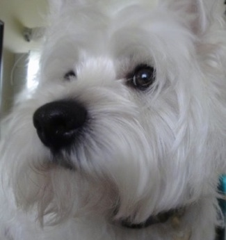 Close up - The front left side of a soft perk eared West Highland White Terrier dog face. It is looking up and to the left. It has a large blak nose, dark round eyes and soft white fur.