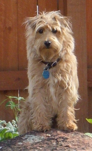 A tan Westiepoo dog is standing up with its front paws up on a rock in a yard and it is looking forward. There is a wooden fence behind it. It has small v-shaped fold over ears, a black nose and dark round eyes.
