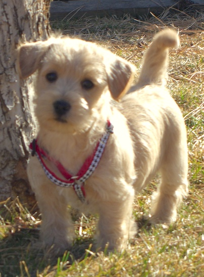 A small, short legged, low to the ground, tan Westiepoo puppy is standing outside in grass and to the left of it is a tree and it is looking forward. It's tail is up in the air, its small ears are v-shaped and folded over to the front, its eyes, nose and lips are dark.