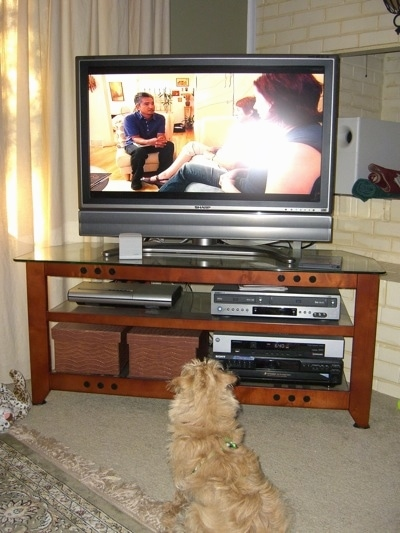 The back of a long wavy coated tan Westiepoo puppy that is sitting on a tan carpet and it is watching a big flat screen TV.