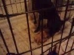 Sugar in  dog crate beginning to give birth