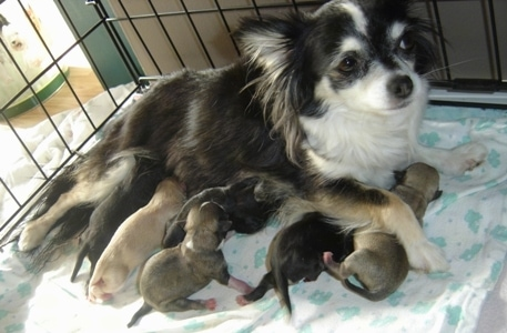 Velvet nursing six puppies