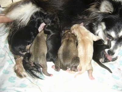 Close Up - Velvet nursing Six Puppies