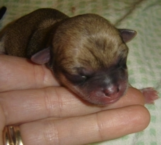 Newborn face of a Chihuahua puppy.