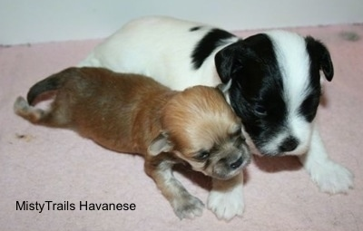 Preemie puppy and littermate at 3 weeks old.