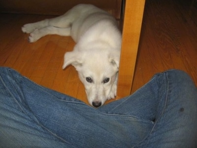 A White German Shepherd puppy is laying down under a table and in front of a persons legs.