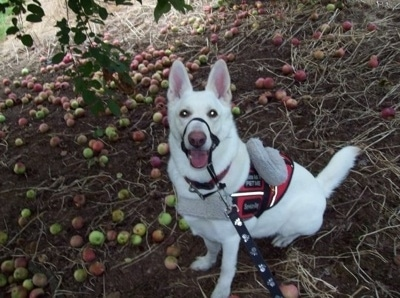 Nimrodel the American White Shepherd sitting under an apple tree wearing a gentle leader a vest and a leash