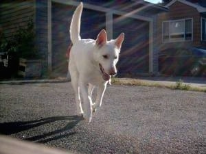 Nimrodel the American White Shepherd running on a blacktop with a garage and a home in the background