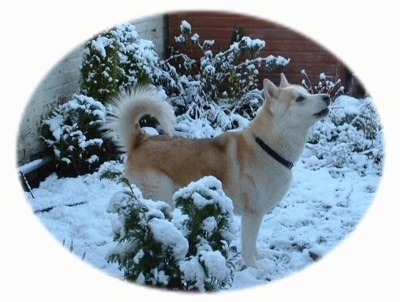 The right side of a tan with white Wolamute that is standing across a snow surface, it is looking up and to the right. It is howling and its tail is curled up over its back.