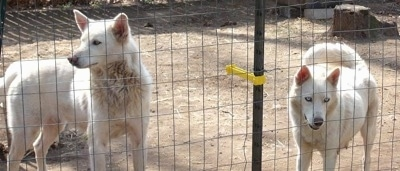 Two white Wolf Hybrids are standing behind a wire fence. One is looking through the fence and the other is looking to the left.