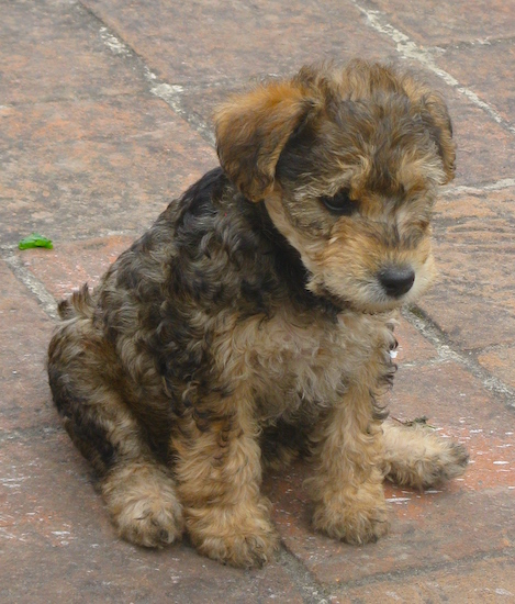 Miniature Schnauzer Puppies on Longa The Wowauzer Puppy   Welshterrier   Miniature Schnauzer Mix