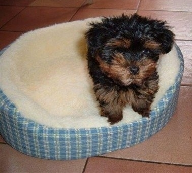 A fluffy, thick-coated, black with brown Yorkshire Terrier puppy is standing on the side of a dog bed looking forward.