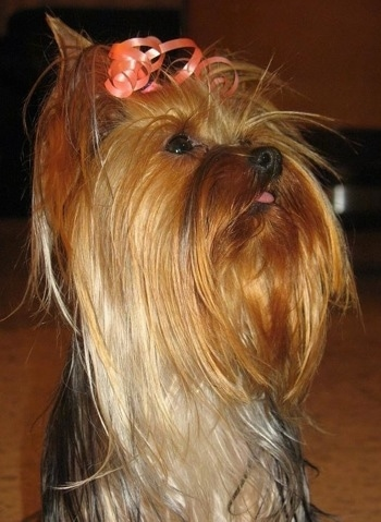 Close up - A long coated, black and reddish tan and cream Yorkshire Terrier dog sitting on a carpeted surface, it is looking up and to the right, its mouth is slightly open and it is wearing a peach colored ribbon which is holding its long hair out of its eyes.