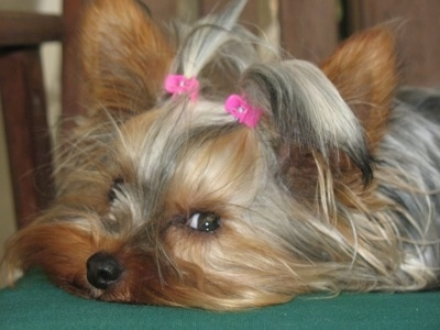 Close up - A black and brown Yorkshire Terrier is laying down and across a green blanket. It has two hair clips holding its very long hair out of its eyes.