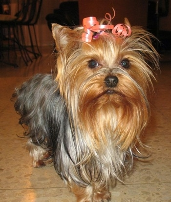 A black and reddish tan Yorkshire Terrier dog standing across a tan tiled floor. It has a pink ribbon in its long hair holding it out of its brown round wide eyes and it is looking forward.