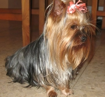 The front right side of a small black with tan and brown Yorkshire Terrier dog sitting across a tiled floor and it is wearing a pink ribbon in its very long straight hair. It has perk ears.