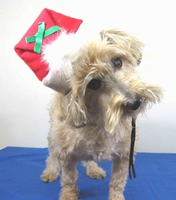 A shaved tan with white Yorkipoo dog is standing on a blue surface, it is wearing a christmas hat, it is looking forward and its head is tilted to the left. Its ears are hanging down to the sides with the long hair on them trimmed at the end. Its muzzle has trimmed hair and it has a black nose and wide brown eyes.
