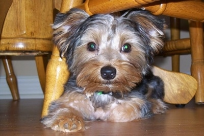 A black with brown Yorkshire Terrier dog laying on a hardwood floor under a chair and it is looking forward. It has wide round eyes, a big black nose and small ears that stick out to the sides.